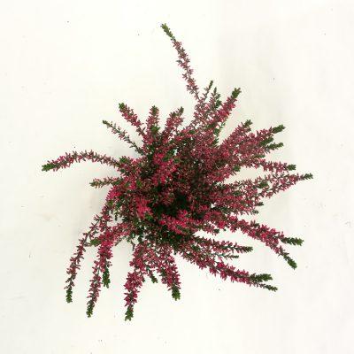 Calluna o105 roza 1