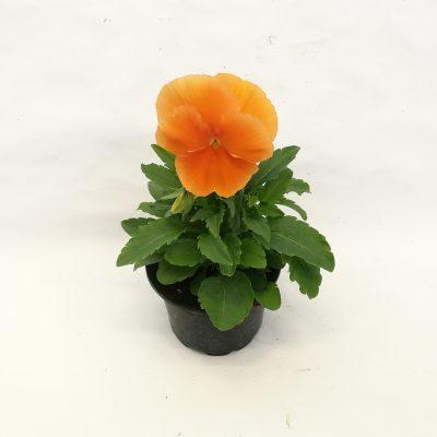 maceha velikocvetna oranzna