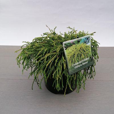 chamaecyparis filifera nana
