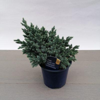 juniperus blue star o13