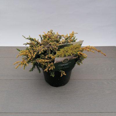juniperus communis goldenschatz