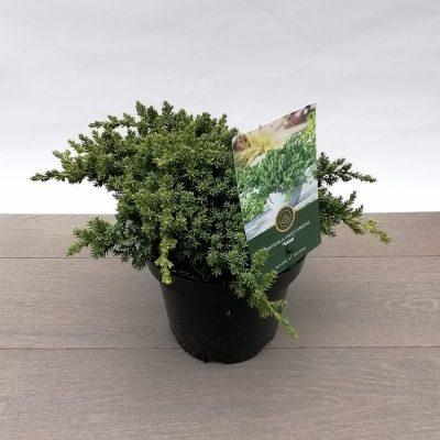 juniperus procumbens nana
