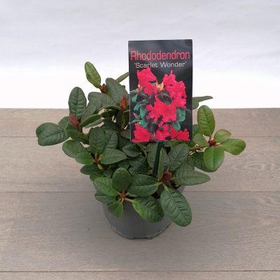 rhododendron sort mini