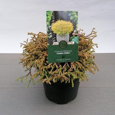 thuja occidentalis golden tuffet
